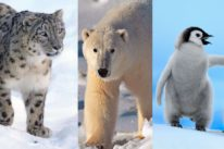 snow leopard polar bear penguin wwf